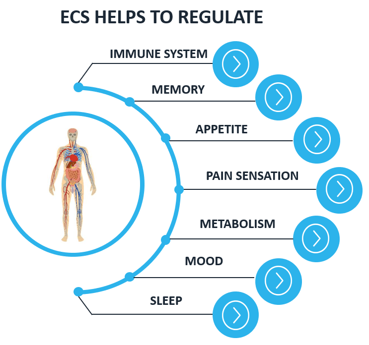 ECS helps to regulate